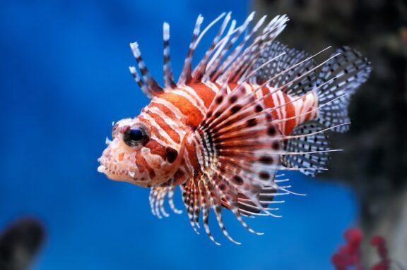 Να τα φάμε πριν μας φάνε! Πρωτοποριακή πρόταση για τα ψάρια- εισβολείς
