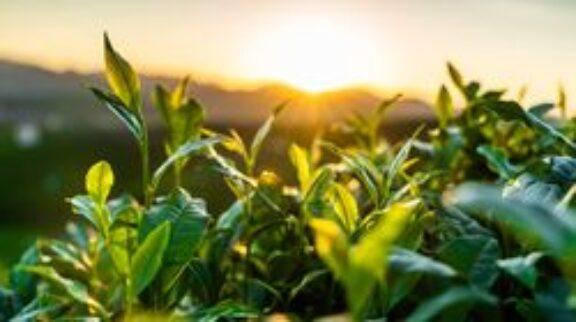 Τρεις μοναδικές συνταγές για χαλαρωτικά και δυναμωτικά ποτά από βότανα